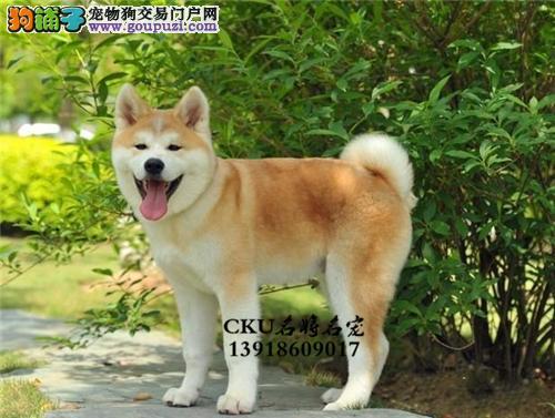 广西秋田帅气听话犬全国包运全国发货