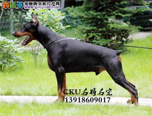 犬舍直销 高品质纯种赛级犬 可发空运汽运 90天包退换