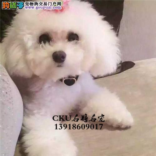新疆犬舍泰迪可爱帅气玩具犬全国发货