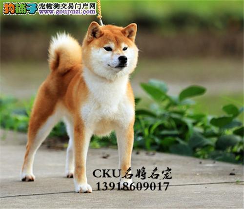 新疆柴犬顶级高品相憨厚狗狗全国发货