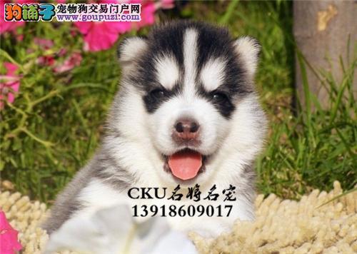 新疆哈士奇新生小犬送用品全国发货