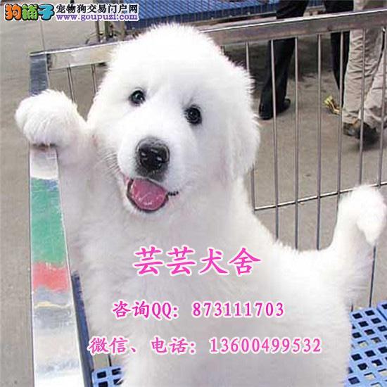 专业繁殖大白熊幼犬出售、包活、签协议、同城送货上门