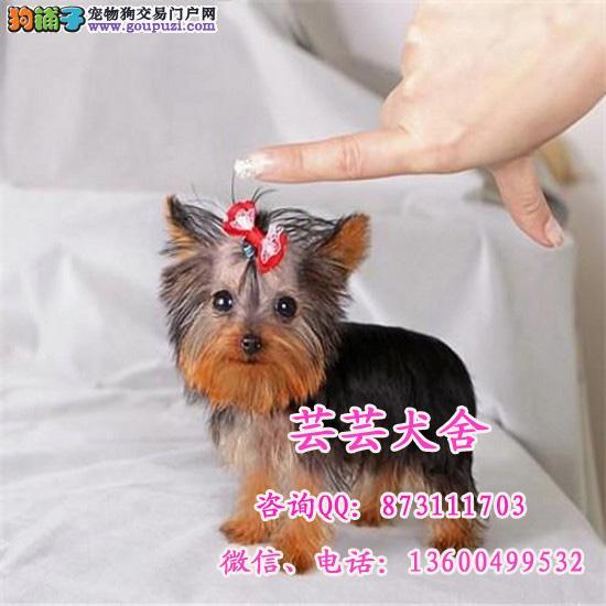 超小体约克夏幼犬可免费送货到家 超萌可爱 芸芸犬舍