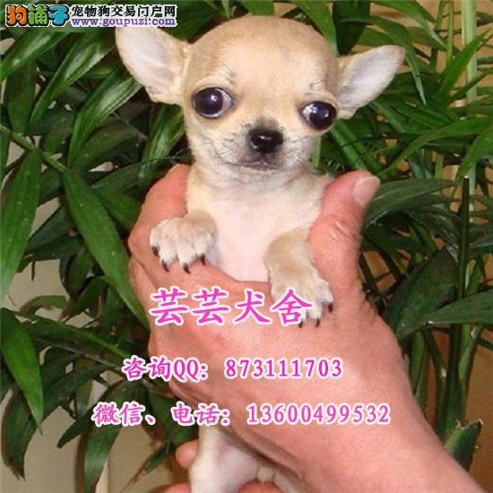 芸芸犬舍出售纯血统苹果头吉娃娃犬疫苗驱虫做齐健