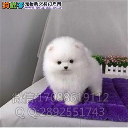 小型犬 可爱的球体博美 英系博美 幼犬多条