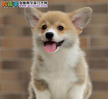 极品柯基在这里、优惠纯种和健康、CKU认证犬业