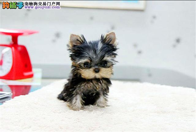 纯种约克夏幼犬◕支持视频看狗送用品
