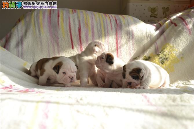 正规犬舍繁殖斗牛犬中心◕纯种英国斗牛犬