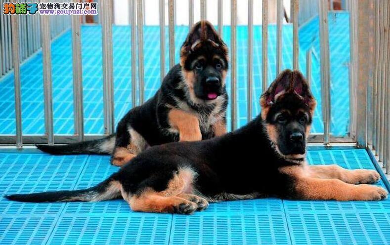 德牧幼犬出售◕包纯种健康◕出现死亡包退换