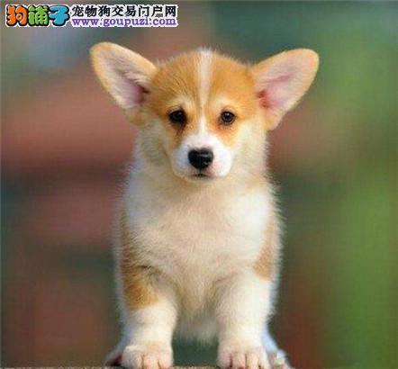 双色柯基犬防疫已做威尔士柯基犬幼犬公母全果洛州售