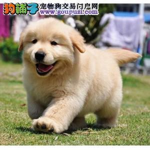 哪里有出售金毛狗狗的 大骨架包纯种包健康