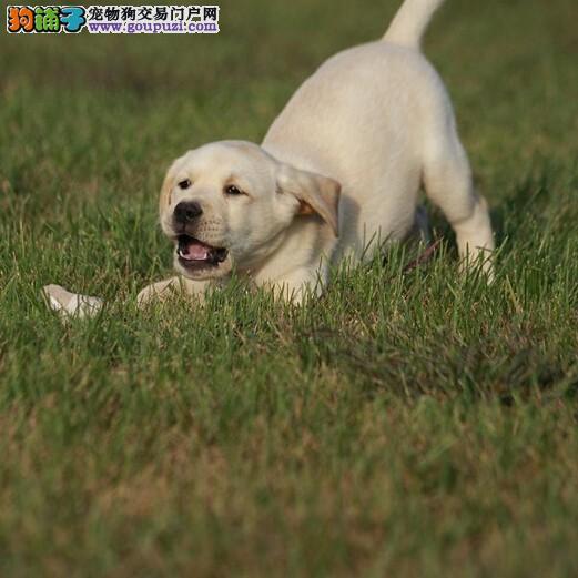 出售大骨架神犬小七拉布拉多包纯种包健康保养活