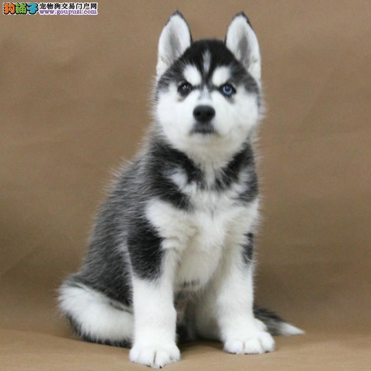 出售哈士奇雪橇犬包纯种保健康包养活可上门选