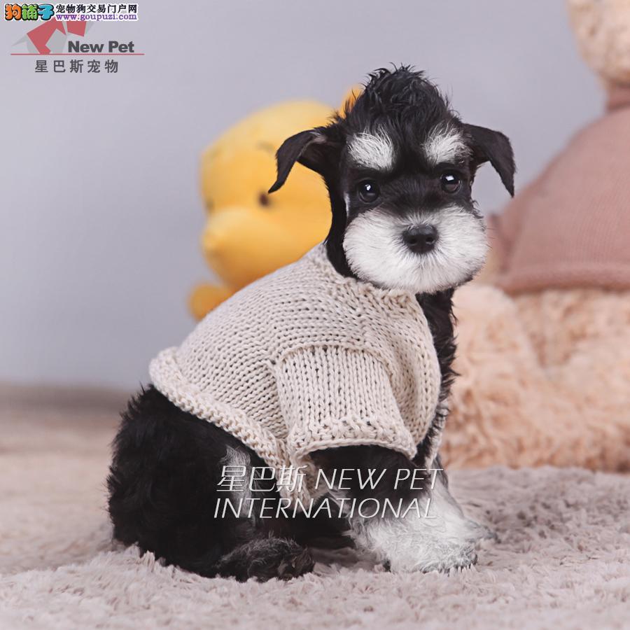 出售雪纳瑞老头犬包纯种包健康包养活可上门挑选