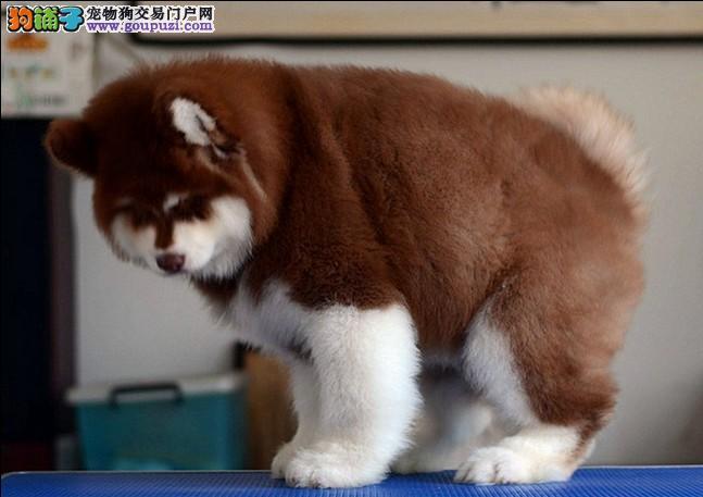 纯种巨型桃脸阿拉斯加幼犬终生包纯种包健康