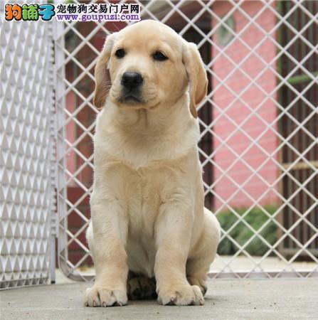 大骨架神犬小七拉布拉多幼犬出售包纯种包健康