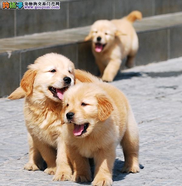 纯种大骨架金毛幼犬家养金毛包纯种包健康