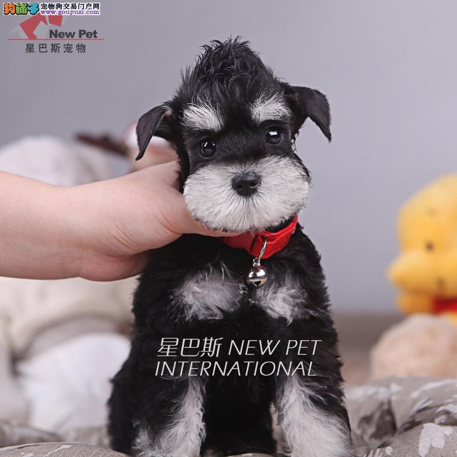 深圳老头犬雪纳瑞出售◕终生包纯种包健康