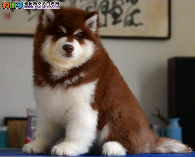出售阿拉斯加雪橇犬包纯种包健康包养活