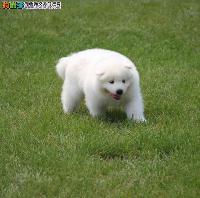 哪里有出售萨摩幼犬的能狗养活包纯种健康的