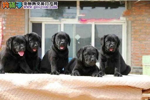 哪里有卖拉布拉多哪里有卖神犬小七成都多少钱