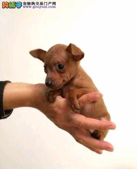 小体型小鹿犬出售中已驱虫包健康