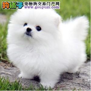 重庆送货上门、白色、黄色、博美犬、俊介犬、加微信