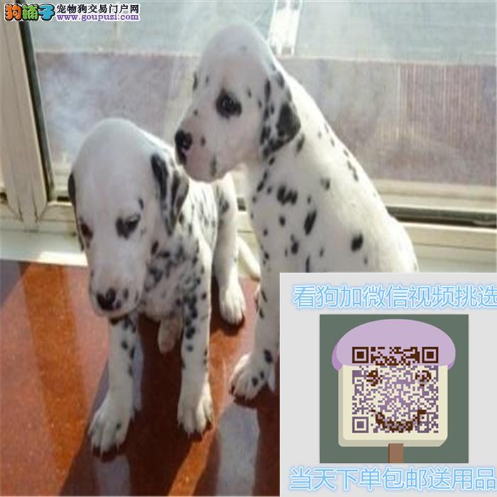 精品斑点狗出售 纯正健康品相佳 质保终身协议