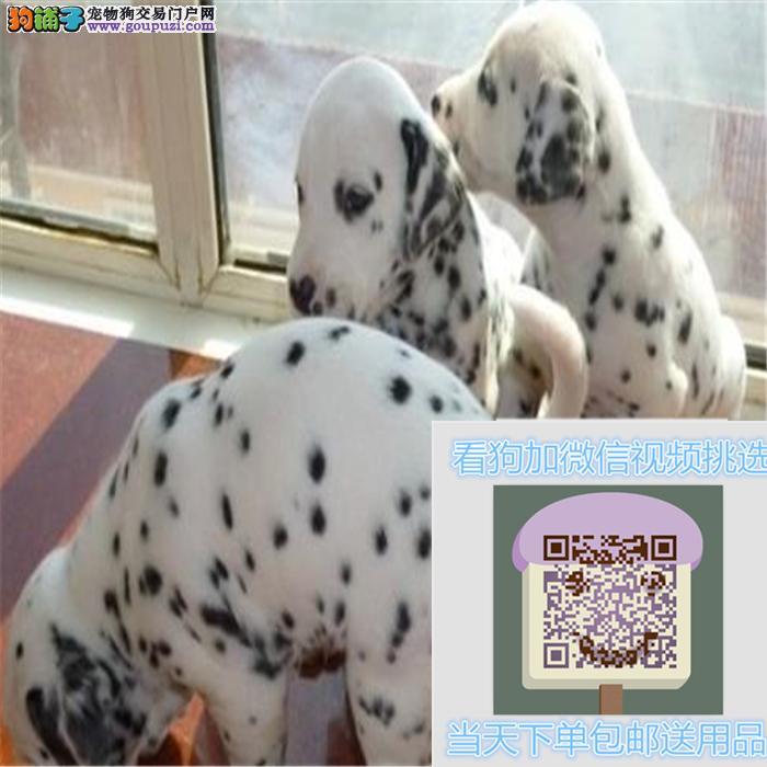 犬舍直销精品斑点狗 保证纯种健康 疫苗齐全