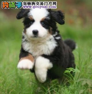 专业繁殖伯恩山幼犬 品质优良 血统纯正 健康保障