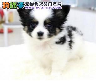 纯种漂亮的蝴蝶犬出售 多只可选 签协议保健康 可刷卡