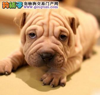 纯种犬繁殖基地出售沙皮幼犬疫苗驱虫做齐可送货