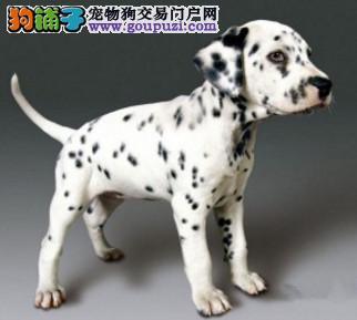纯种斑点狗出售,一宠一证视频挑选,可送货上门