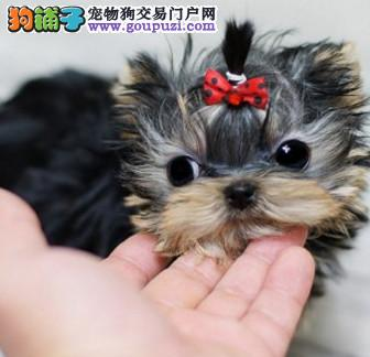 AKC国际认证犬舍低价出售约克夏幼犬公母都有