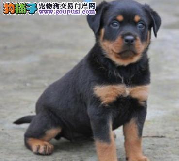 优质罗威纳幼犬出售欢迎选购