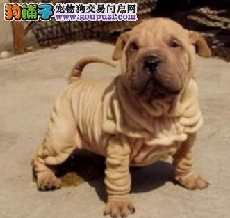 南昌知名犬舍出售多只赛级沙皮狗品质保障可全国送货