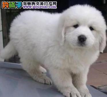 出售自己繁殖大白熊幼犬
