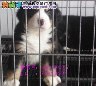 出售纯种伯恩山幼犬、包健康、包养活、签协议