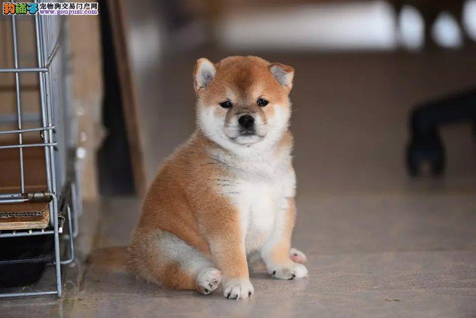实体店低价促销赛级柴犬幼犬期待您的光临