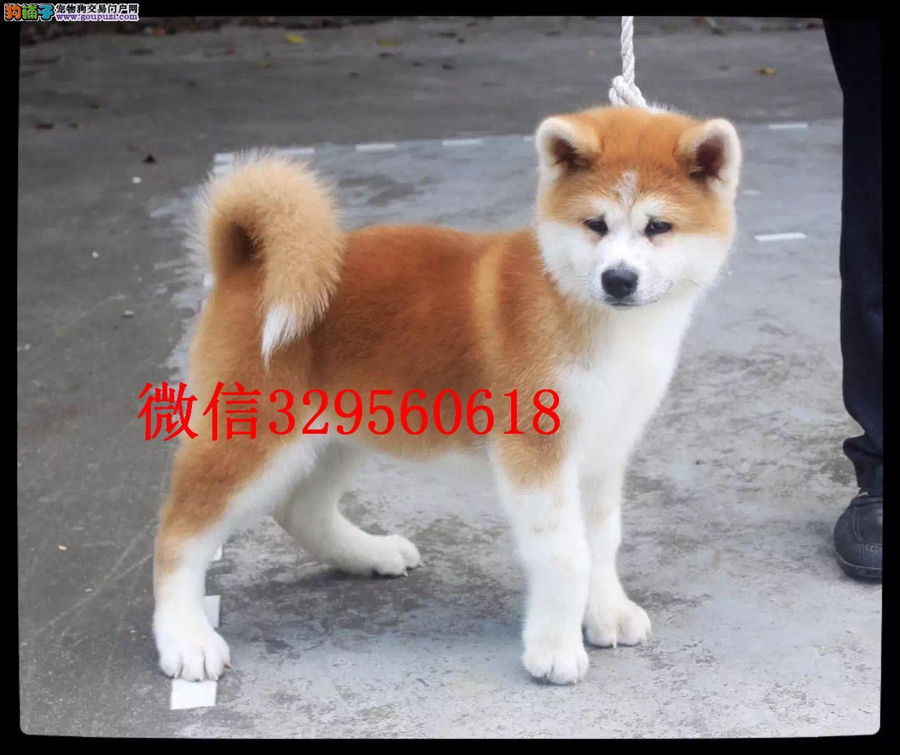 吉林哪里有卖秋田的 纯种秋田多少钱 日本秋田犬出售