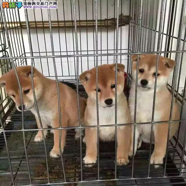 哈尔滨哪里有卖柴犬 漂亮的日系柴犬多少钱一只