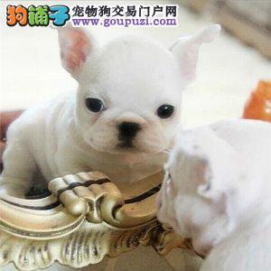 哈尔滨哪里有卖法国斗牛犬 奶白色奶油色法斗多少钱