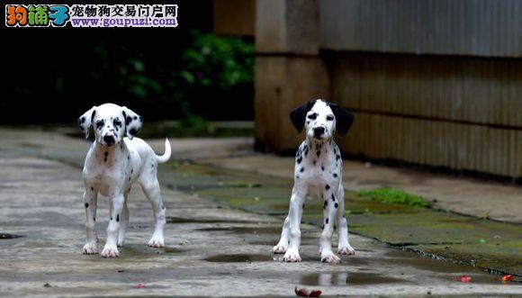 实物拍摄的斑点狗找新主人外地可空运已驱虫