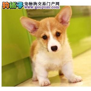 长春哪里有卖柯基犬纯种两色三色 短腿柯基多少钱