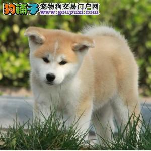 长春哪里有卖秋田犬 纯种日系秋田赤色秋田多少钱一只