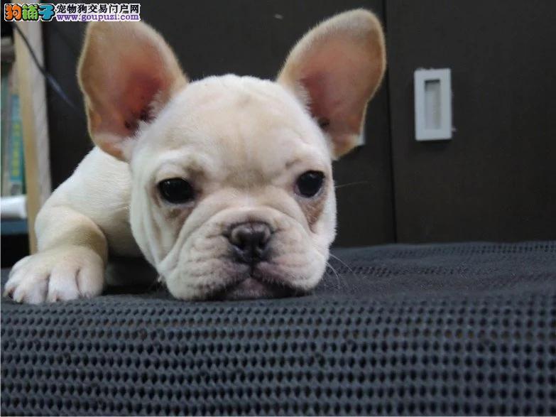 长春哪里有卖法国斗牛犬纯种奶白色奶油色法斗多少钱