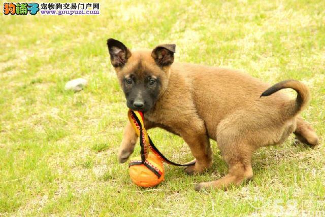 正规犬舍繁殖的极品狼狗 喜欢狼狗加微信