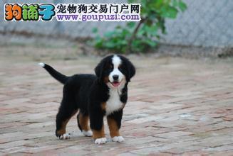 引进血统伯恩山犬 纯种瑞士犬 公母都有可办狗证