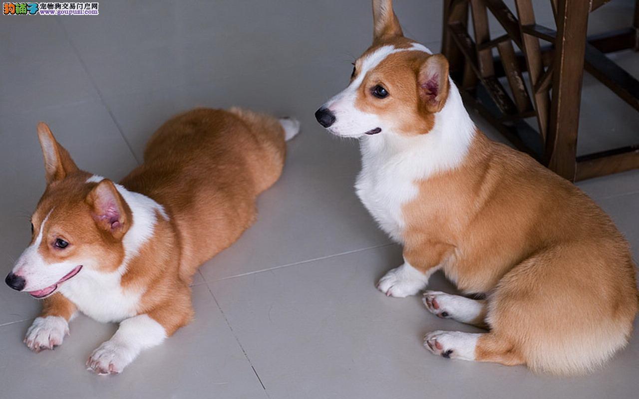 卡迪根威尔士柯基犬带证书出售中终身免费饲养指导