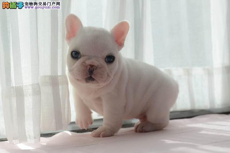精品纯种法国斗牛犬出售质量三包真实照片视频挑选